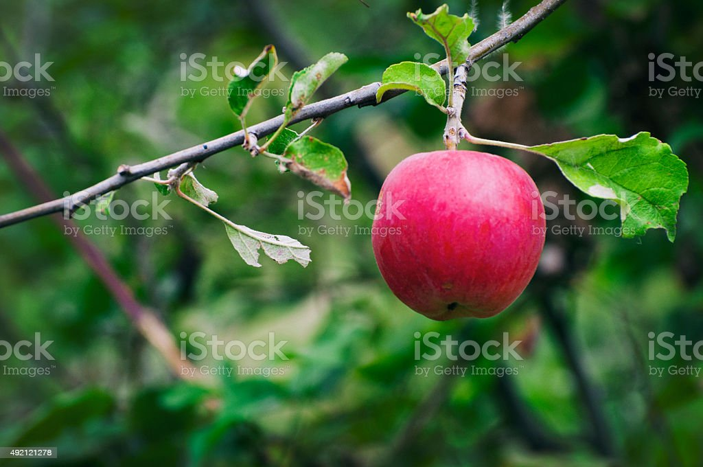 Ripe red apple stock photo