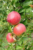 The photo shows ripe red apples on a tree branch.