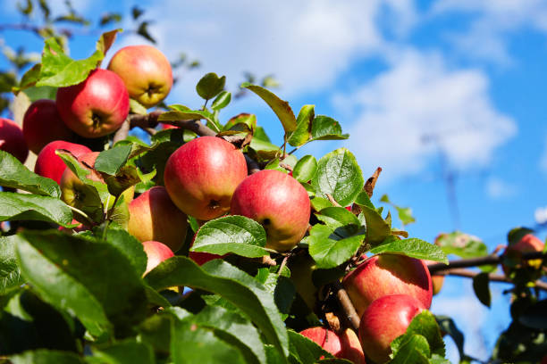 ripe red apples on a branch ripe red apples on a branch of a tree. Harvest time apple orchard stock pictures, royalty-free photos & images
