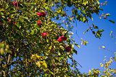 Ripe red apples on a green tree branch against a blue sky. Ripe delicious apples hang on the Apple tree.