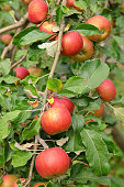 young green apples, fruits on the branches of apple tree