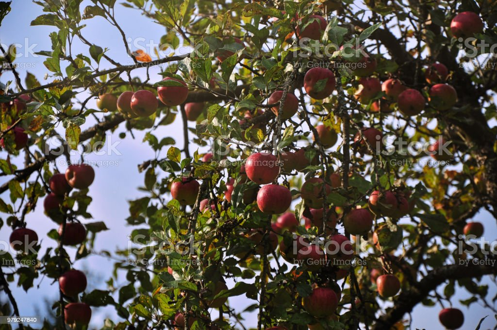 Ripe Red Apples On Tree In Orchard stock photo