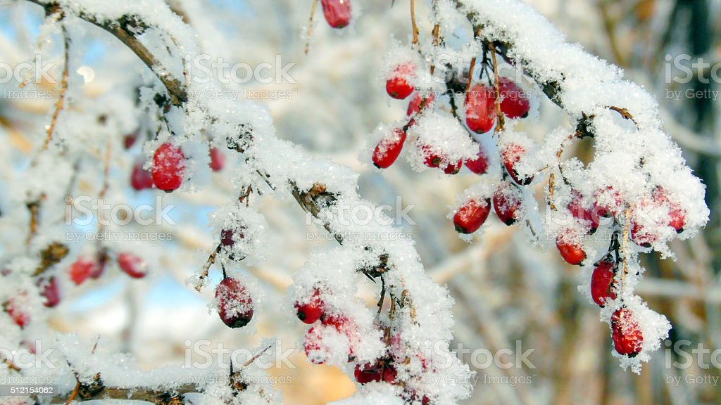 Ripe red barberry berries powdered with a snow stock photo