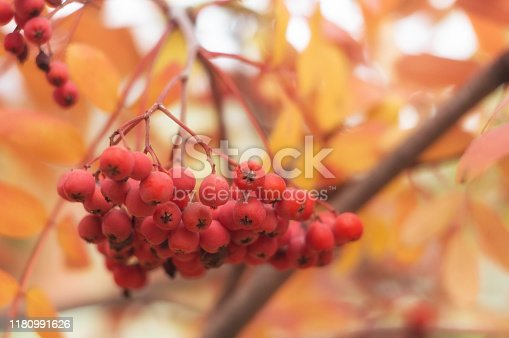 Ripe red bunch of rowan berry on the background of yellowed autumn foliage.