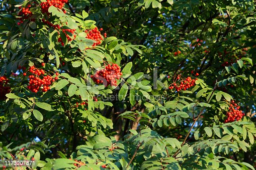istock Ripe red bunches of rowan on a tree in late summer 1173207871