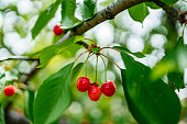 Ripe red cherries and leaves on cherry tree close up.