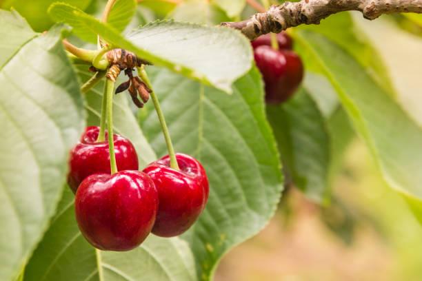 rijpe rode kersen en bladeren op de kersenboom - fruitboom stockfoto's en -beelden