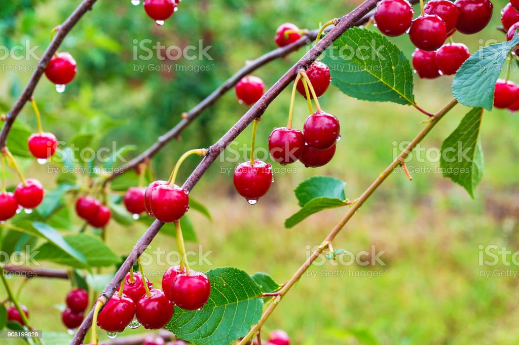 Ripe red cherries on the cherry tree in the orchard stock photo