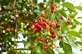 Ripe red cherries on the tree branch
