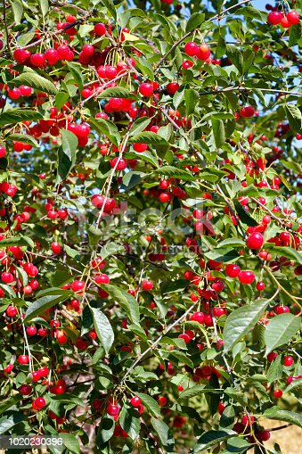 Ripe red cherries hanging in plentiful bunches on the tree with fruit ready to pick, close up.