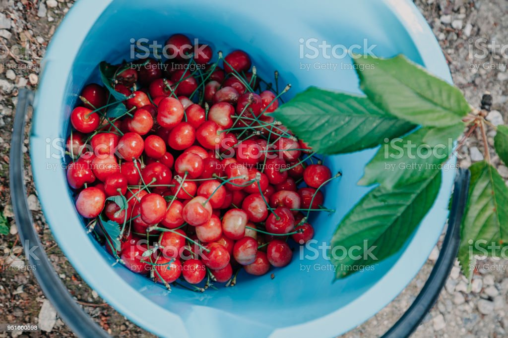 Ripe red cherry in a plastic bucket stock photo
