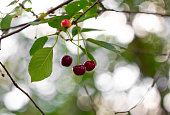 Ripe red cherry on a tree branch on a background of green foliage and beautiful bokeh. Macro cherry.