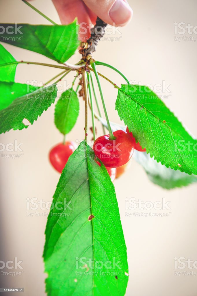 Ripe red cherry on branch with green leaves stock photo