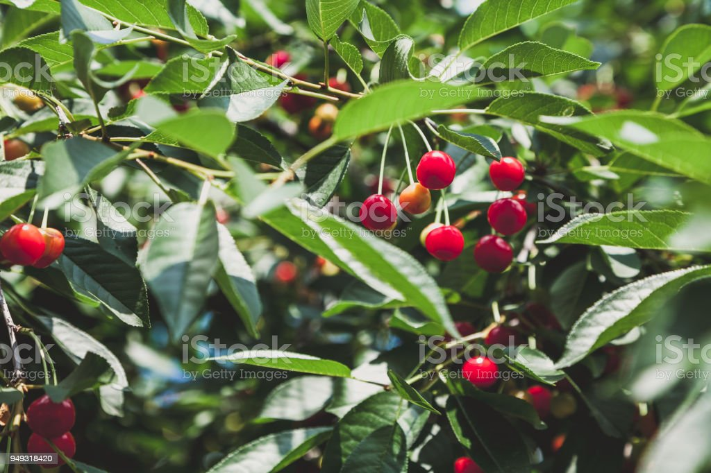 Ripe red cherry weighs on branch with green leaves stock photo