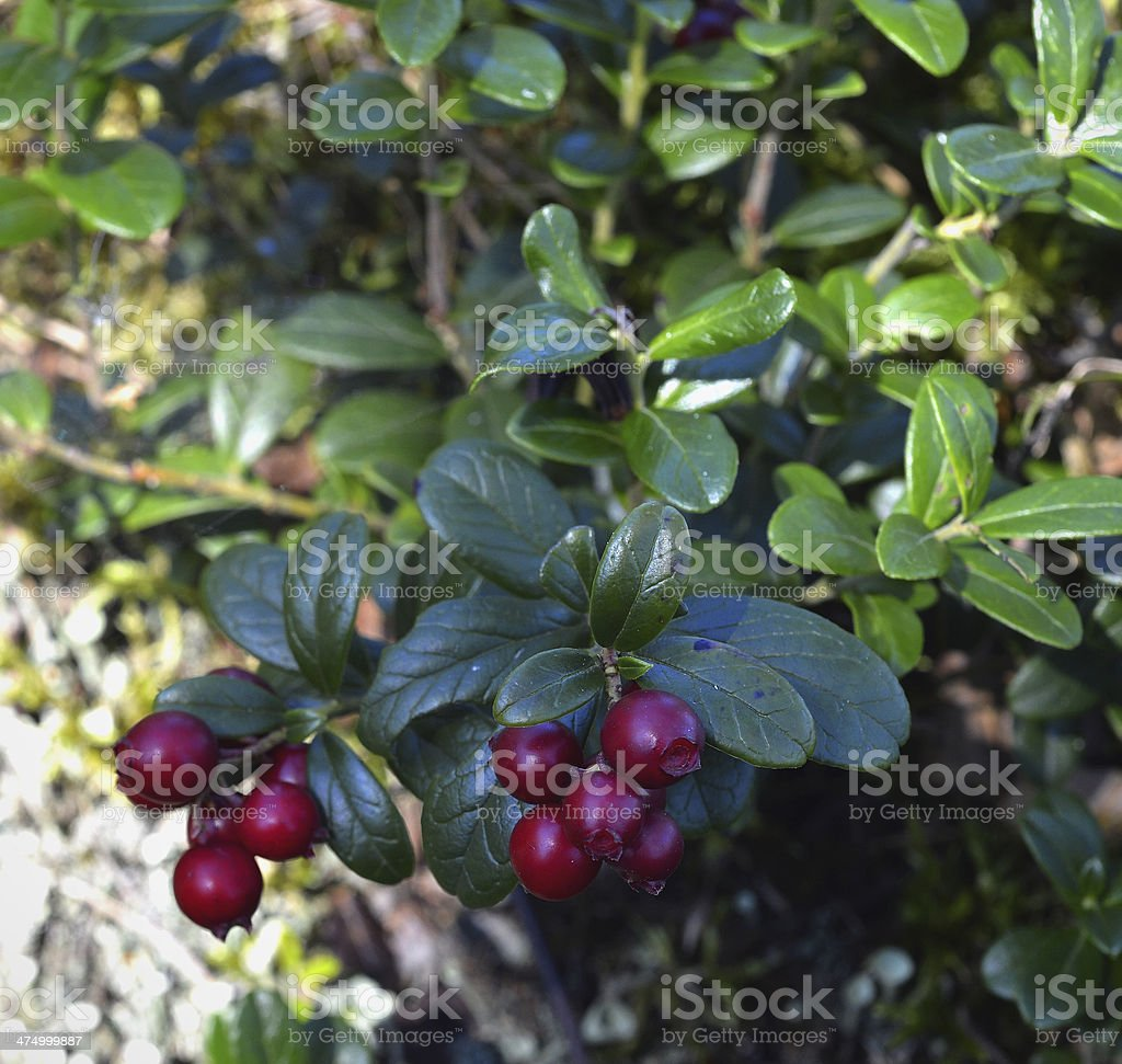 Ripe red cowberry close up. royalty-free stock photo