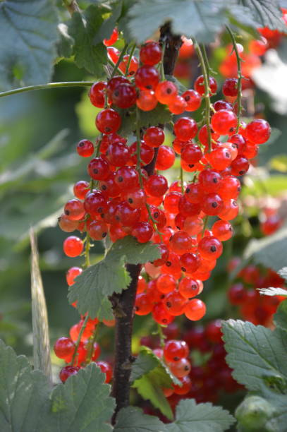 Ripe red currant berries in summer Red currant berries in a vegetable garden werken stock pictures, royalty-free photos & images