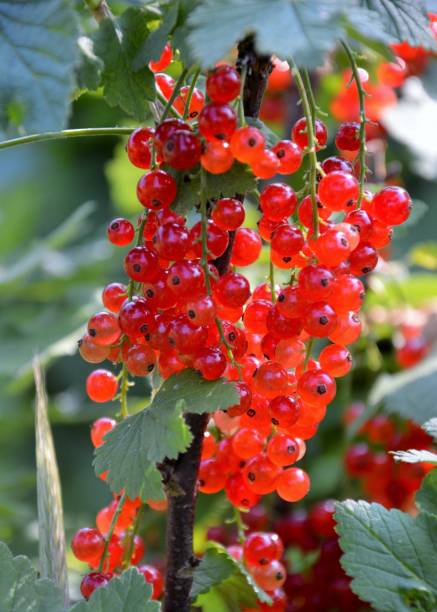 Ripe red currant berries on a branch Close up of a bush with red currrant berries werken stock pictures, royalty-free photos & images
