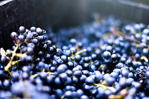 A large group of shiny, ripe black grapes in a metal vat await crushing for the first winemaking process at a winery.