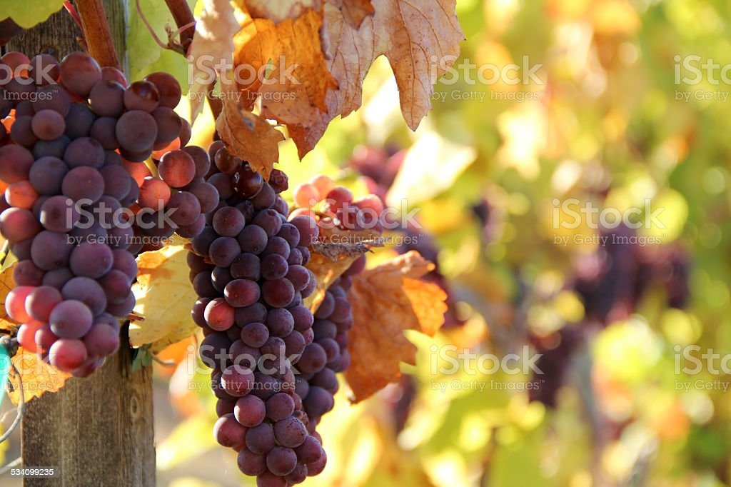 Ripe Red Grapes stock photo