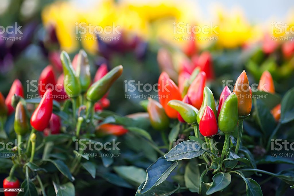 ripe red, green pepper plants and hot peppers stock photo