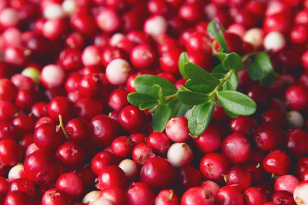 Ripe red lingonberry ( cowberry , partridgeberry ) grows in deep forest stock photo
