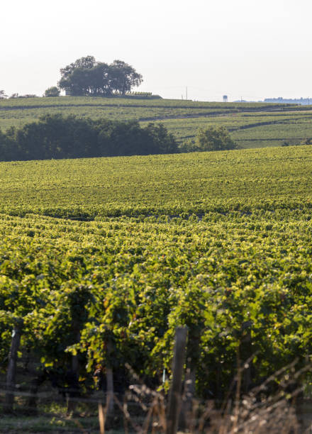 Ripe red Merlot grapes on rows of vines in a vienyard before the wine harvest in Saint Emilion region. France stock photo