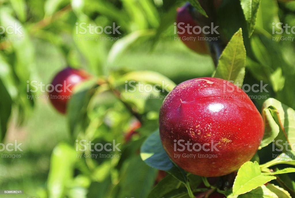 Ripe red nectarine on a tree stock photo