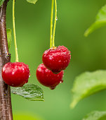 Ripe red organic sour cherries on the branch in the garden