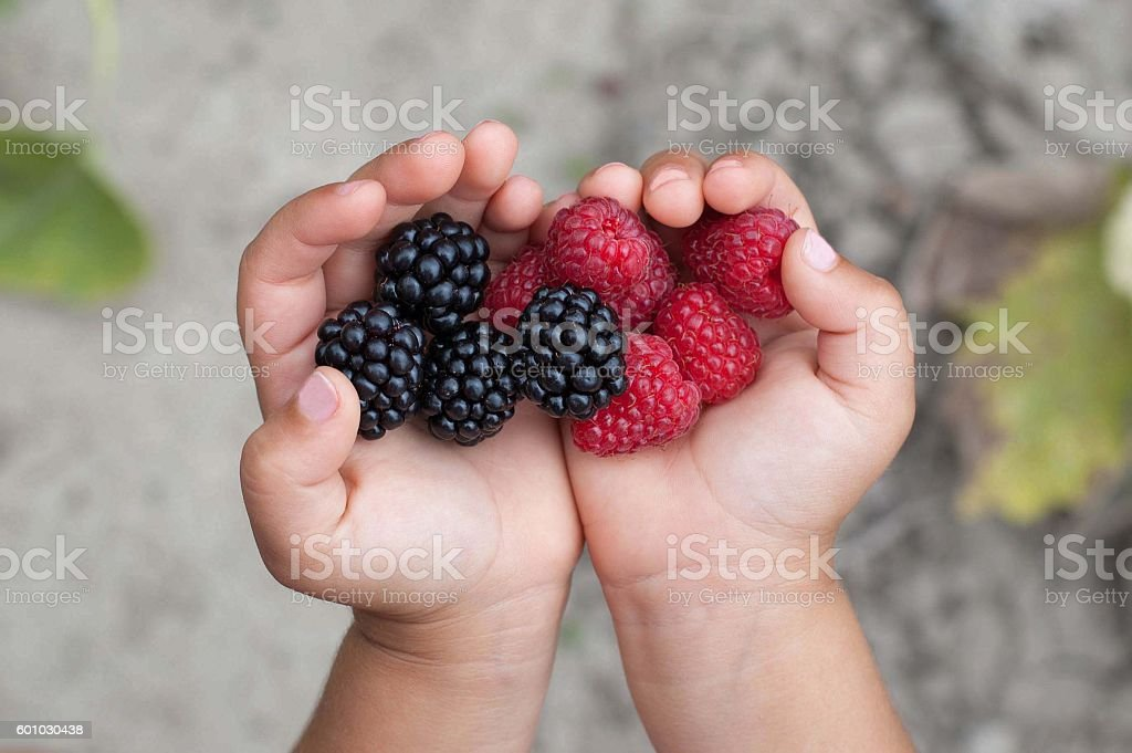 Ripe red raspberries in the little girl hands. - Photo