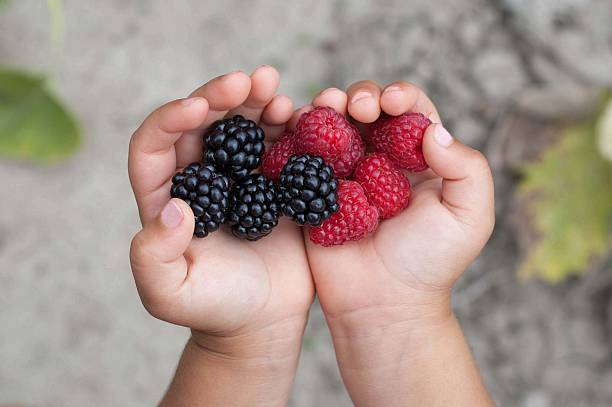 ripe red raspberries in the little girl hands. - picking fruit imagens e fotografias de stock