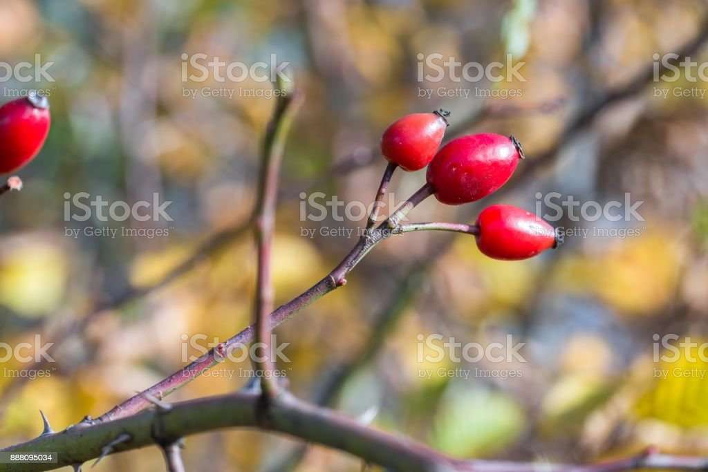 Ripe red rose hip on a bush at autumn stock photo
