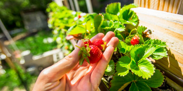 Ripe red strawberries grown in the aquaponics stock photo