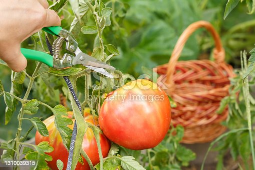 Woman is gathering ripe red tomatoes growing on the branch in the garden. Tomatoes in the garden bed. Wicker basket on the background.