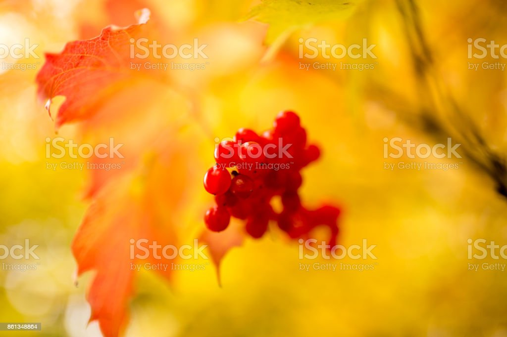 ripe red viburnum on nature in autumn stock photo