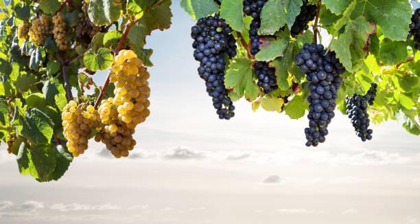 Reife Rotwein- und Weißweintrauben in einem Weinberg vor der Weinlese, Weinbau mit Weinprobe in einem Weingut – Foto
