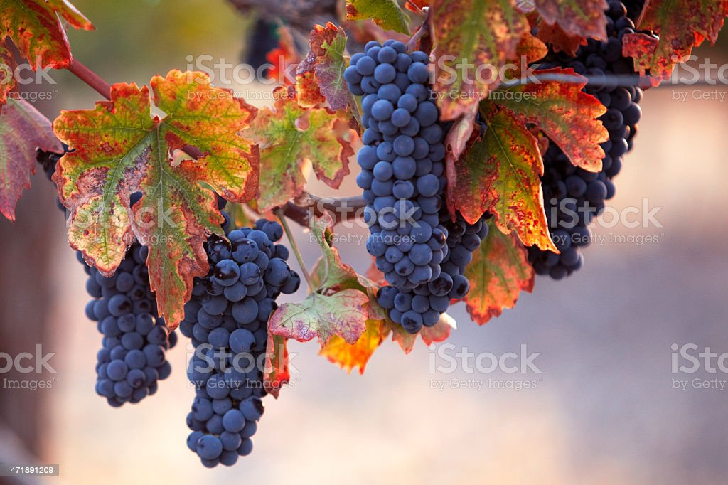 Ripe Red Wine Clusters royalty-free stock photo