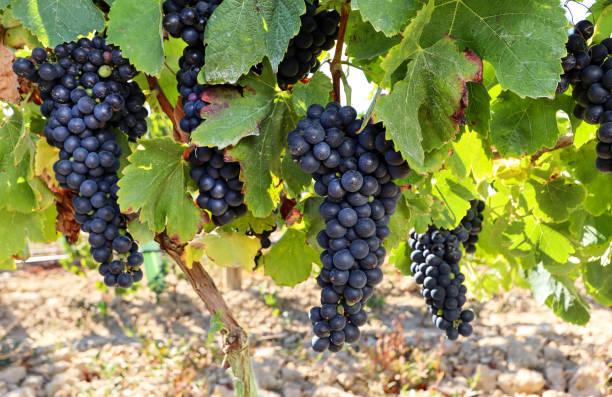 Reife Rotweintrauben vor der Weinlese in einem Weingut in einem Weingut, ländliche Landschaft für Weinbau und landwirtschaftliche Weinproduktion in Portugal, Europa – Foto