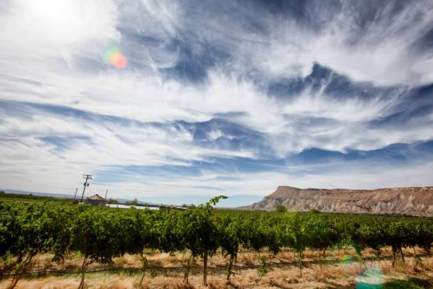 ripe red wine grapes on a vine in a vineyard - robert weinberg stock-fotos und bilder