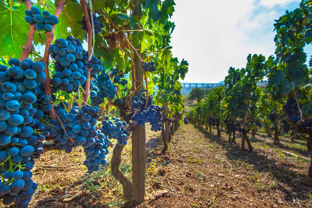 Ripe red wine grapes on vines at Picerno Basilicata Italy stock photo