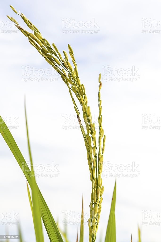 Ripe rice close up royalty-free stock photo