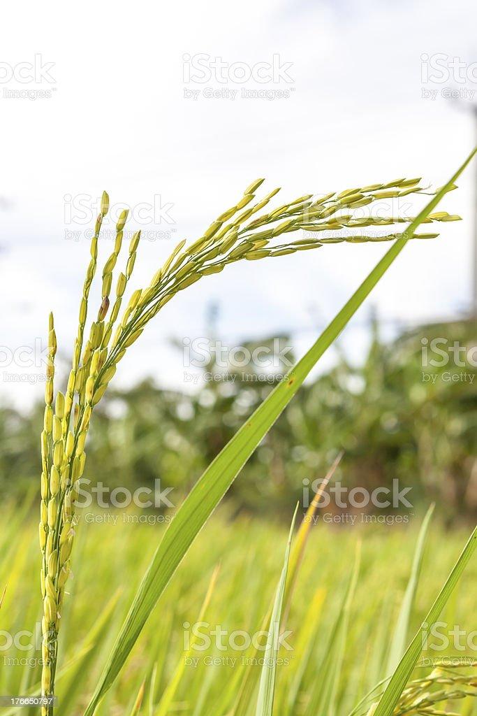 Ripe rice close up royalty-free stock photo