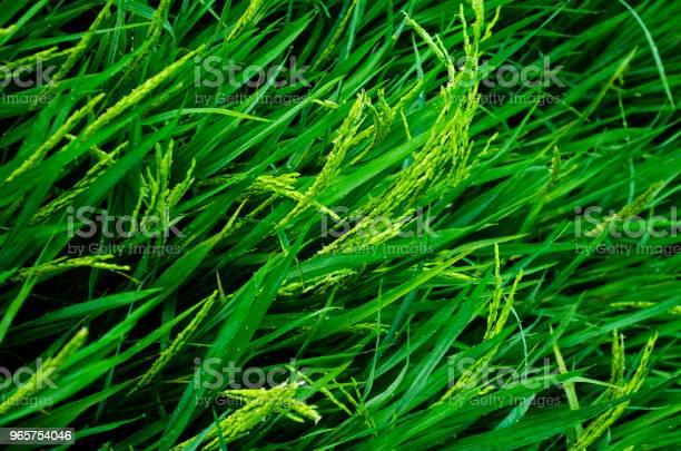 Урожай Спелого Риса — стоковые фотографии и другие картинки Азия