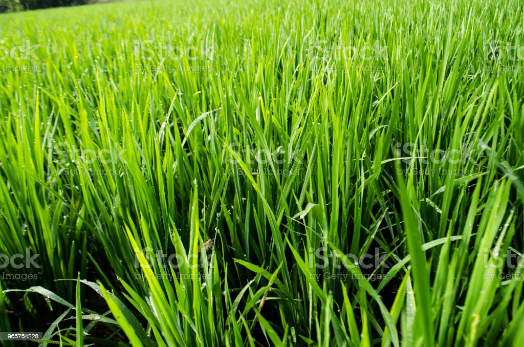 Ripe rice harvest - Royalty-free Agricultural Field Stock Photo