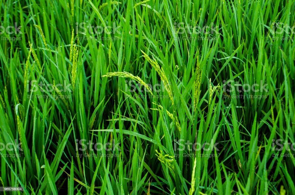 Oogst van de rijpe rijst - Royalty-free Achtergrond - Thema Stockfoto