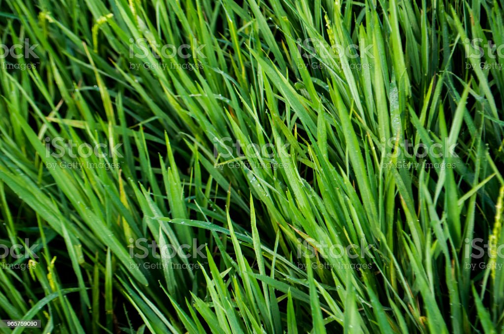 Ripe rice harvest - Royalty-free Agricultura Foto de stock