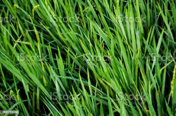 Ripe Rice Harvest - Fotografias de stock e mais imagens de Agricultura