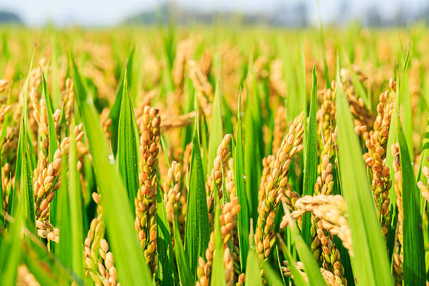 ripe rice in the field of farmland ripe rice in the country farmland rice paddy stock pictures, royalty-free photos & images