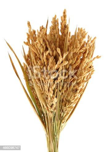 Rice Harvesting a Branch of rice