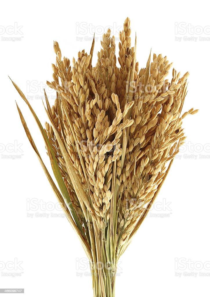 Maduro arroz - foto de stock