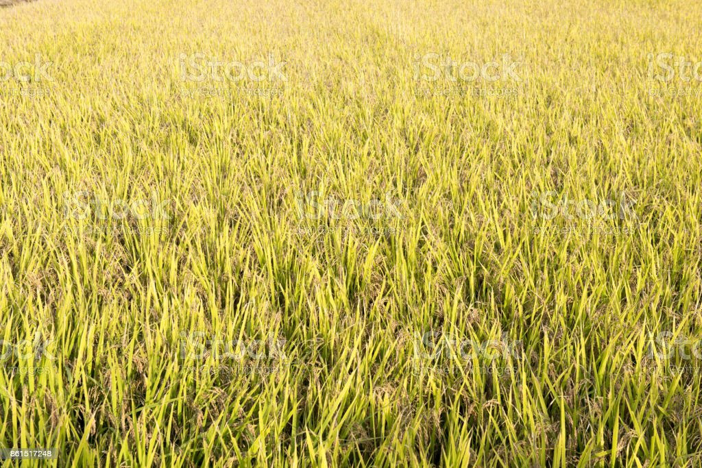 Ripe rice stock photo